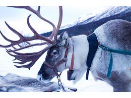 Rentierschlittenfahrt in Lappland